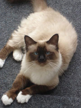 Short Haired Birman Cat